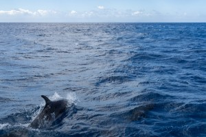 dolphins in dominica