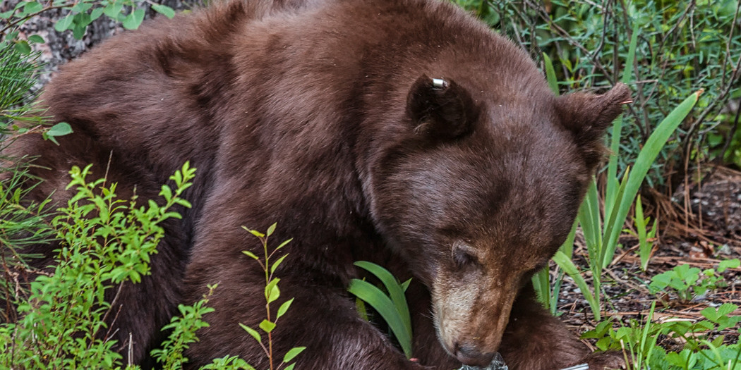 Black Bear Survival Guide for Hikers & Backpackers